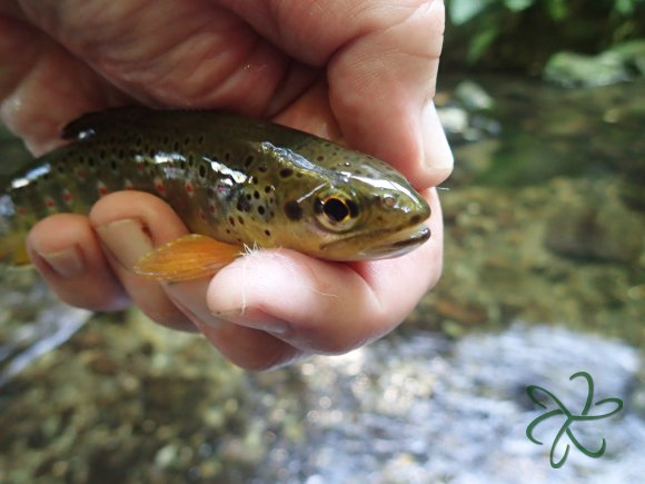 Tenkara trout from Laxey River