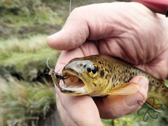 Brown trout on Tenkara dry fly