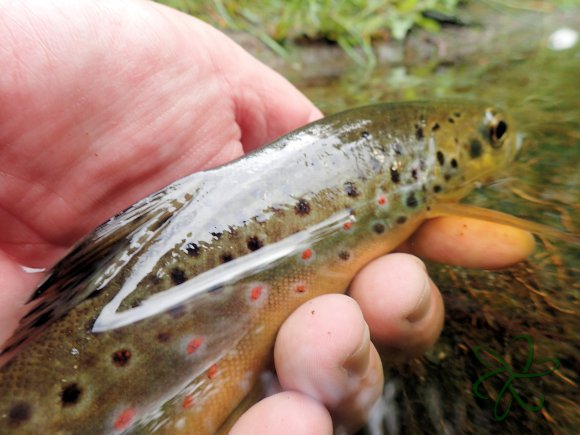 Sulby Trout